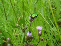 Green june beetle Stock Image