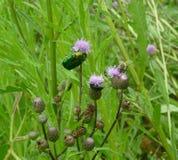 Green june beetle Royalty Free Stock Photos