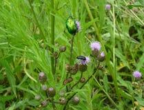 Green june beetle Stock Photos