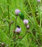 Green june beetle Stock Photography