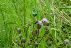 Green june beetle Royalty Free Stock Image