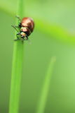 Green june beetle Stock Photography
