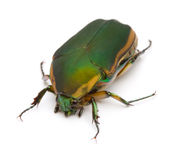 Green June Bug Stock Photography