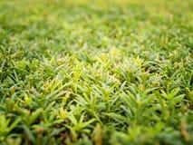 Green juniper Stock Images