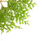 Green juniper branch Royalty Free Stock Images