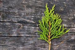 Green juniper branch Royalty Free Stock Image