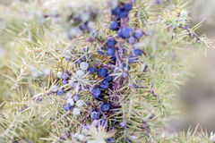 Green juniper bush with blue berries and needles Stock Images