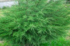 Green juniper bush. The Crown Plan. stock images