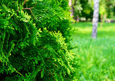 Green juniper bush in the foreground. Stock Images
