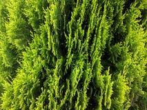 Green juniper bush. Freshly green juniper bush stock photo