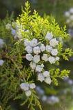Green Juniper bush. In the garden stock images