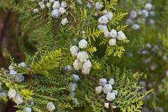 Green Juniper bush. In the garden stock photo