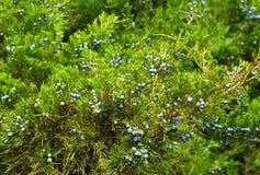 Green juniper with juniper berry Stock Images