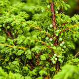 Green juniper's berries stock photos