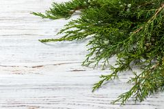 Green juniper twig with green cones lay on wooden table royalty free stock images