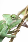 Green Juvenile Veil Chameleon lizard Royalty Free Stock Photos