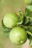 Green Kaffir Limes Stock Photo