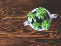 Green Kalanchoe blossfeldiana in vintage white bowl on the beautiful wooden table. royalty free stock photo