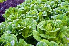 Green kale. Fresh green kale in a garden at Doi Angkhang Chiang Mai , Thailand Royalty Free Stock Photo