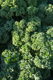 Green kale background Royalty Free Stock Photos