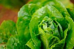 Green Kale Stock Image