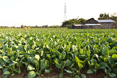 Green kale in field, Thailand. Green kale in field, Thailand stock photo
