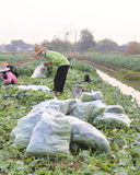 Green kale in field,Thailand Stock Image