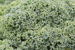 Green kale in the garden Stock Photo