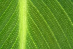 Green kanna leaf Stock Photography