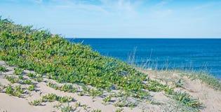 Green karkalla under clouds. Green karkalla by Platamona shore Stock Photography