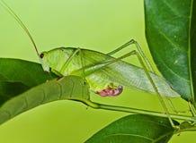 Green katydid Royalty Free Stock Photography