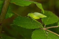 Green katydid Royalty Free Stock Photography