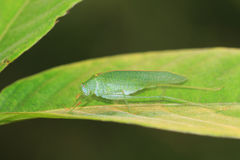 A green katydid/bush cricket Stock Photography
