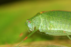 A green katydid/bush cricket Stock Photos
