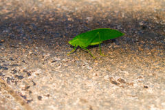 Green katydid Royalty Free Stock Photo