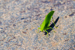 Green katydid Stock Photos