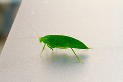 Green katydid Stock Image