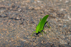 Green katydid Royalty Free Stock Image