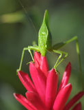 Green katydid grasshopper ,pico bonito,hondura royalty free stock photo