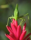 Green katydid grasshopper ,pico bonito,hondura Royalty Free Stock Photo