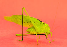 Green Katydid grooming Royalty Free Stock Photos