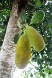 Green jackfruit on brunch with leaves. Green Khanoon jackfruit on brunch with leaves and tree trunk on background tropical with sun Stock Image