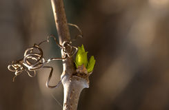Green kidney on a grapevine. royalty free stock photos