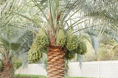 Green Kimri & khalal dates clusters all around the palm tree Stock Photos