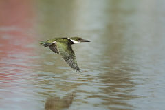 Green Kingfisher in flight over water Stock Image