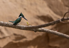 A Green Kingfisher waiting for prey Royalty Free Stock Photography