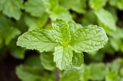 Green kitchen mint tree Royalty Free Stock Images