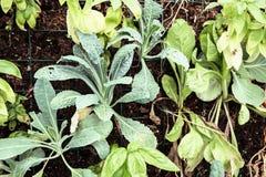 Green kohlrabi planted in the garden Royalty Free Stock Photo