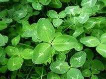 green koniczynę obraz stock