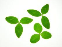 green koniczynę Zdjęcia Stock